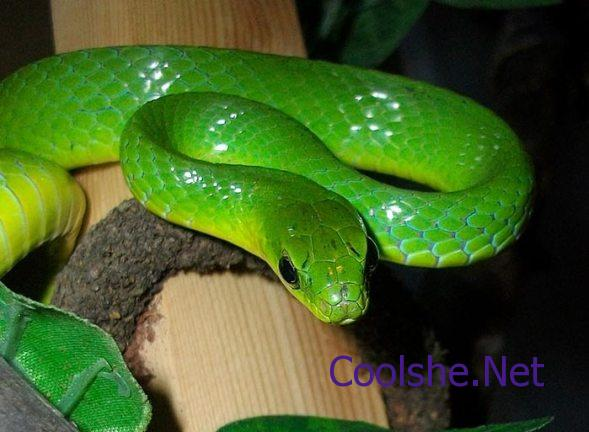 حلم-الثعبان-الأخضر-في-المنام