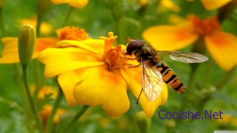 ان دور النحلة في عملية تكاثر نبات مغطى البذور هو